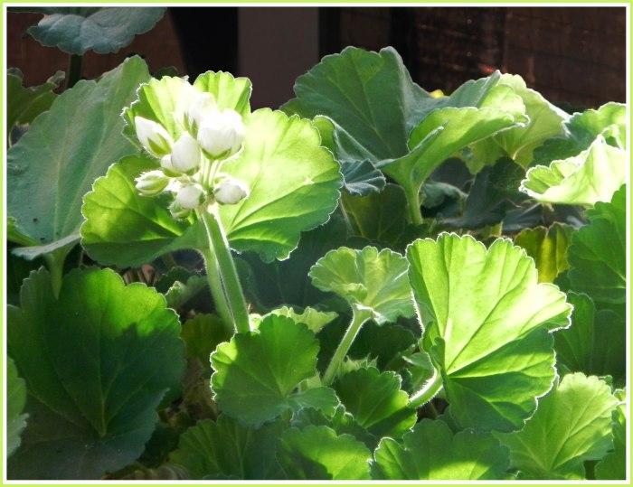 Ze bloeien al van in april