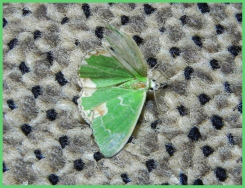 de zomervlinder